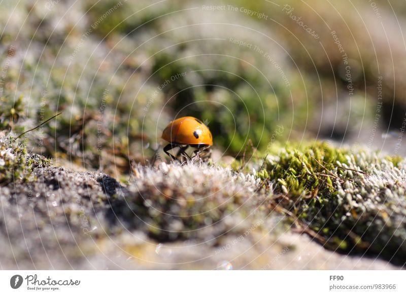 Auf und Ab zum Glück Umwelt Natur Landschaft Pflanze Tier Herbst Moos Käfer 1 Marienkäfer Insekt grün grau braun Farbfoto Außenaufnahme Nahaufnahme