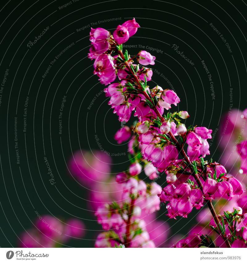Heideblume Nahaufnahme schön Garten Dekoration & Verzierung Umwelt Natur Pflanze Herbst Blume Blüte frisch natürlich rosa rot schwarz Farbe Hintergrund