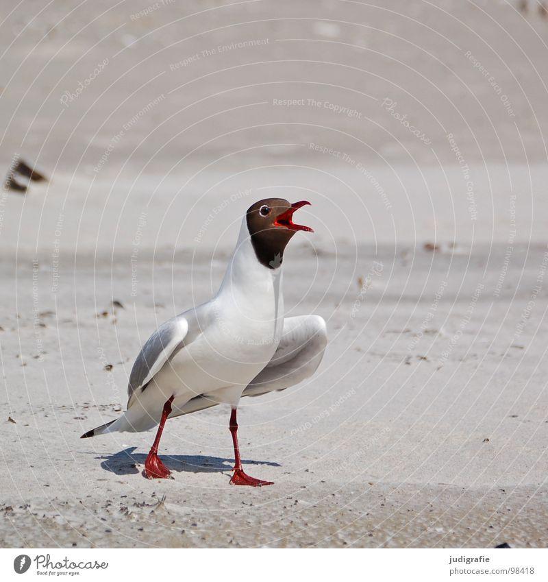 Revoluzzer Schnabel Lachmöwe Möwe Vogel Sommer Strand Meer See Ferien & Urlaub & Reisen Feder Fischland Weststrand Ornithologie Umwelt Wut Wildnis Tier Küste