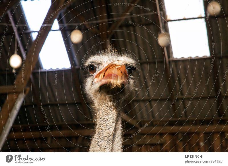 Franz Josef Tier Nutztier Zoo Streichelzoo Strauß 1 füttern kämpfen Aggression bedrohlich verrückt wild Wut Angst gefräßig Abenteuer Ärger Neugier
