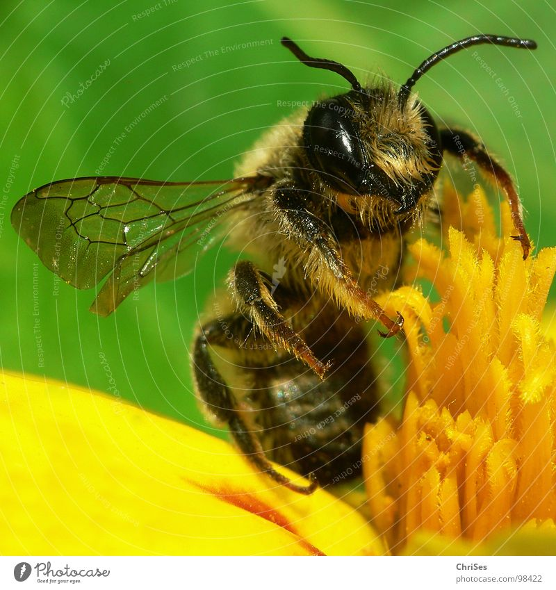 Erdbiene ( Andrena florea ) 02 Sandbiene Biene Wespen Insekt Honig fleißig gelb schwarz grün gestreift Sommer Frühling Fühler Tier Sammlung Nordwalde
