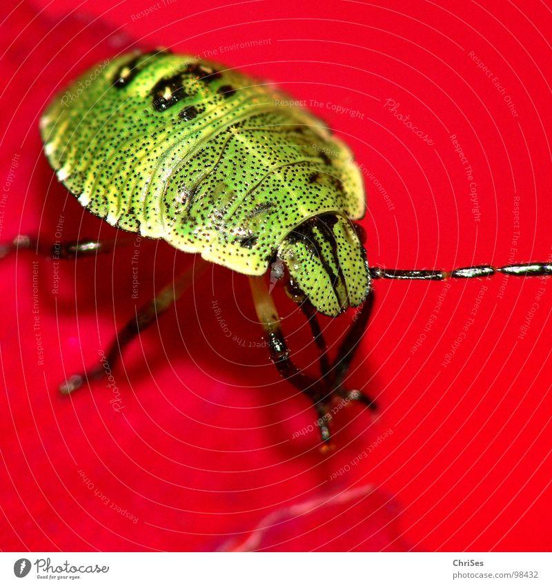 Larve der grünen Stinkwanze 02 Grüne Stinkwanze Wanze Insekt rot Stockrose Blütenblatt Tier Nordwalde Makroaufnahme Nahaufnahme Angst Panik Palomena prasina