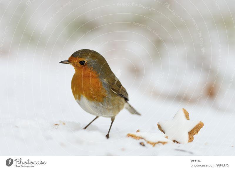 Rotkehlchen - weihnachtlich Umwelt Natur Tier Winter Eis Frost Schnee Wildtier Vogel 1 rot weiß Weihnachten & Advent Zimtstern Farbfoto Außenaufnahme