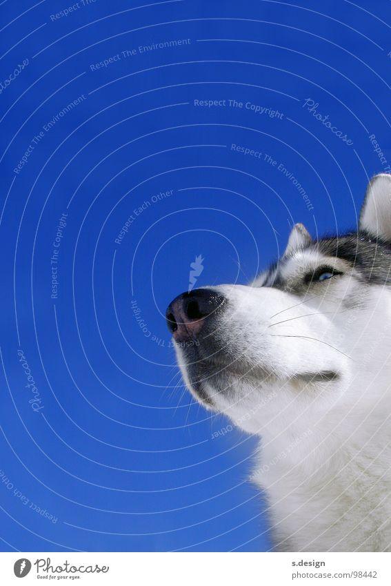 Bester Freund Hund Himmel schön Winter Tier Auge Kraft Nase weich Ohr Fell Säugetier Schnauze strahlend Schlittenhund Husky
