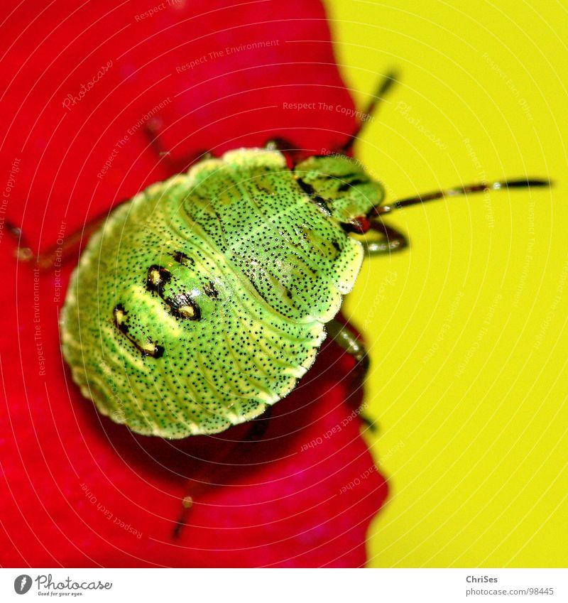 Larve der grünen Stinkwanze 01 Grüne Stinkwanze Wanze Insekt rot gelb Stockrose Blütenblatt Tier Nordwalde Makroaufnahme Nahaufnahme Sommer Palomena prasina
