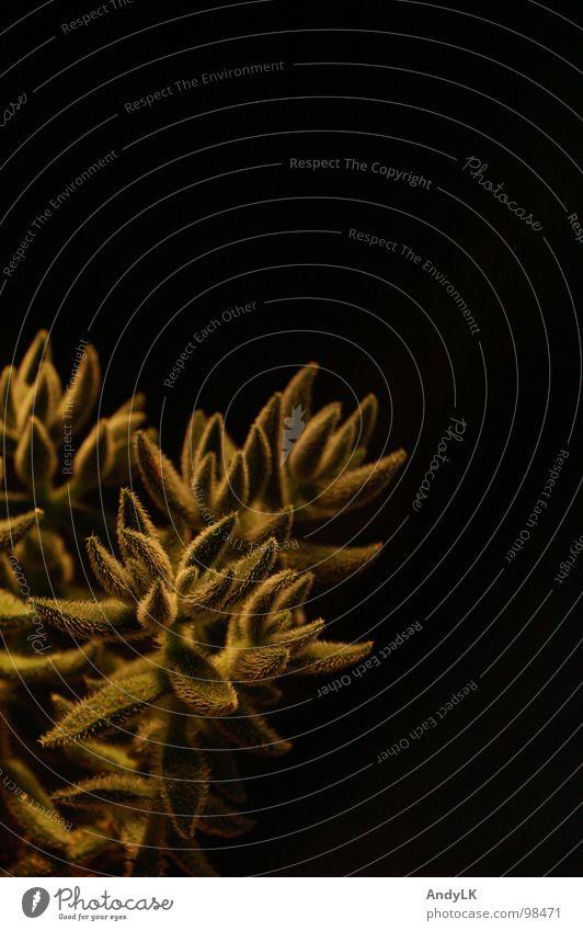 haarige Angelegenheit schwarz grün Pflanze Kaktus Makroaufnahme Nahaufnahme Wüste gold bestrahlt Haare & Frisuren