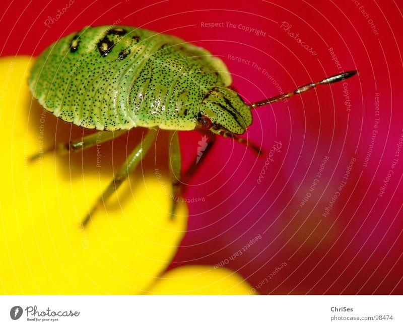 Larve der grünen Stinkwanze 04 grün rot Tier gelb Blüte Angst Insekt Geruch Panik Blütenblatt Nordwalde Wanze Larve Stockrose Grüne Stinkwanze