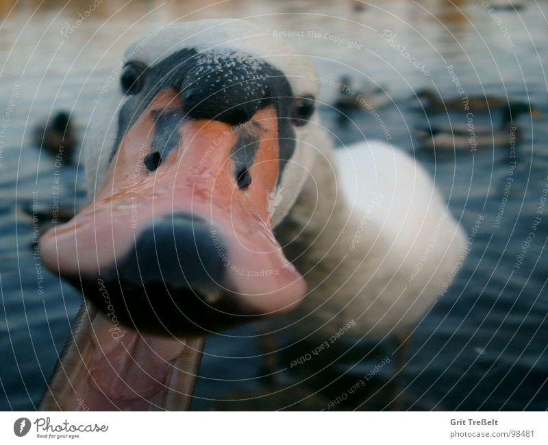Schnappi Wasser lustig See Vogel außergewöhnlich Gebiss Tiergesicht böse Schwan Schnabel selbstbewußt Aggression füttern beißen schnappen Gier