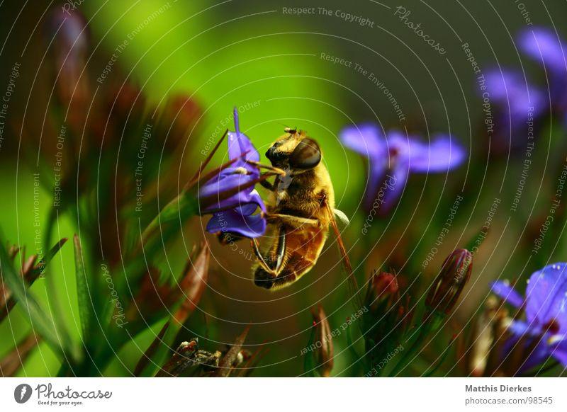 BUSY AS A BEE Biene Insekt Wespen Hornissen Tier Blüte Blume Ernährung trinken Sammlung fleißig Arbeit & Erwerbstätigkeit Versorgung kümmern Hintergrundbild