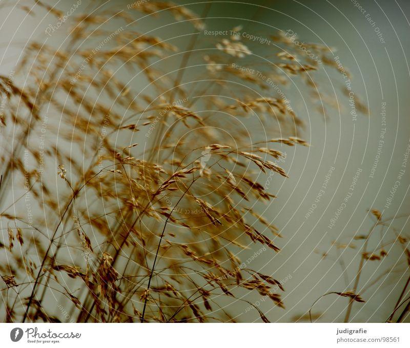 Gras grün Stengel Halm Ähren glänzend schön weich Rauschen Wiese zart beweglich sensibel federartig Pflanze Sommer Farbe Pollen rispe rispen flimmer Weide sanft