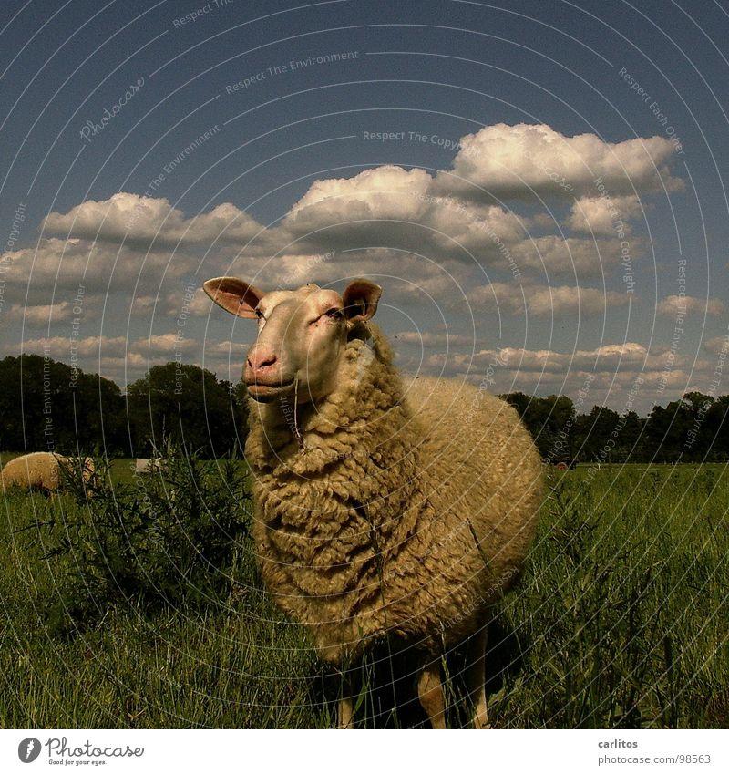 Heile Welt schön Sommer ruhig Fröhlichkeit niedlich beobachten Fell Idylle Tiergesicht Weide Schaf genießen Halm Fressen harmonisch Säugetier
