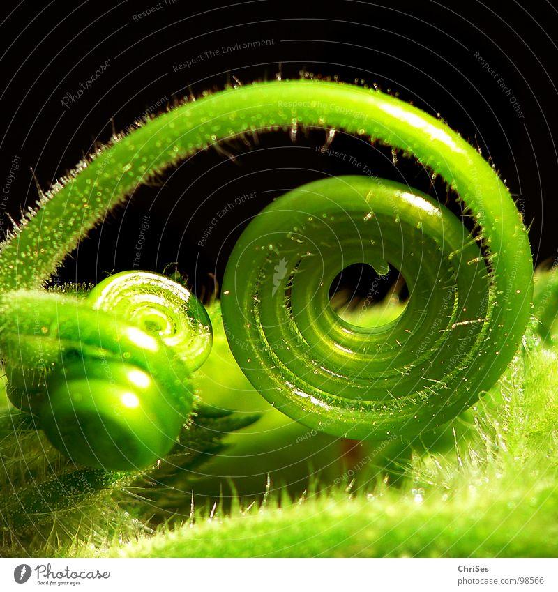 Aufgerollt 02 Kürbis grün Pflanze Spirale Blütenknospen Botanik Rolle Kürbis Ranke Gemüse Schlaufe Kletterpflanzen gerollt Vor dunklem Hintergrund zartes Grün