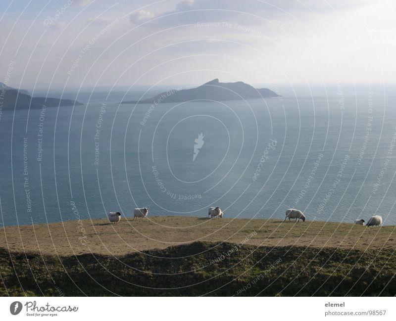 Irland Meer Schaf Ferne Küste Fressen Einsamkeit Atlantik Kerry Ferien & Urlaub & Reisen Wolle Gegenlicht braun Wolken Klippe Am Rand Februar Strand