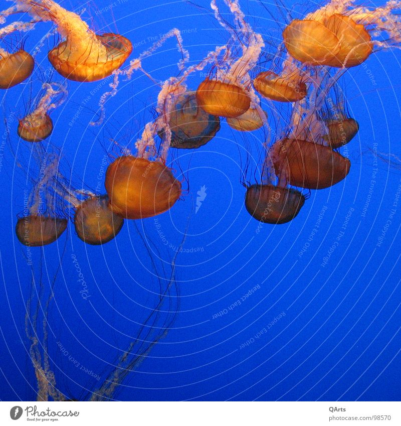 Jellyfish - Quallen III Wasser Meer blau Fisch Aquarium Qualle Monterey Bay Aquarium