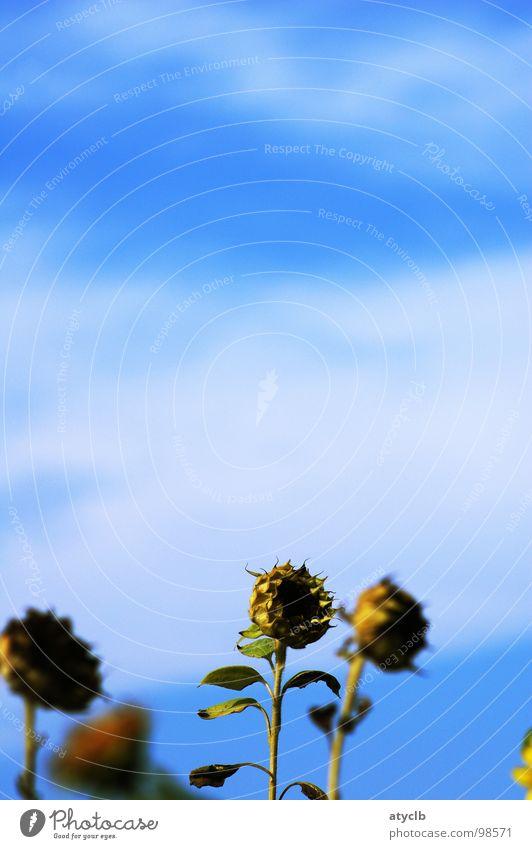 Smell the Flowers while you can Himmel alt Pflanze Sommer Blume Wolken gelb Herbst Feld Ernte Sonnenblume welk verblüht Erntedankfest