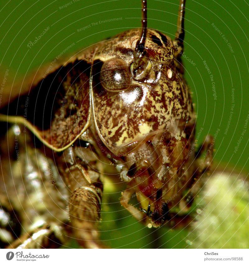 Gewoehnliche_Strauchschrecke Heuschrecke Heimchen grün braun springen Fühler Sommer Insekt Tier Lebewesen Nordwalde Makroaufnahme Nahaufnahme