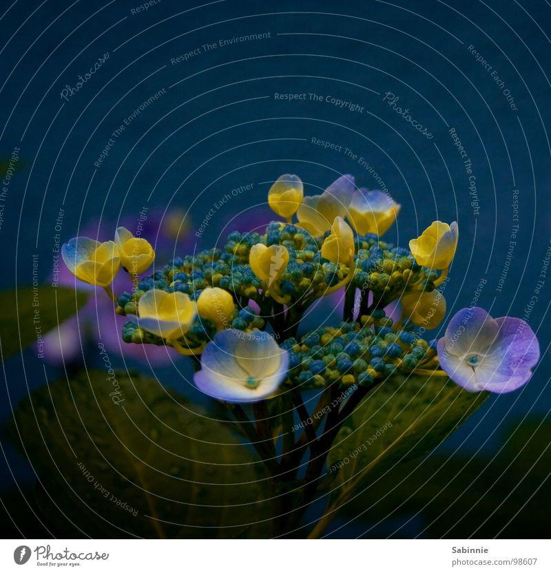 Mittwochsblümchen II Wasser Blume blau Pflanze gelb Blüte Regen Wassertropfen Sträucher violett Hortensie