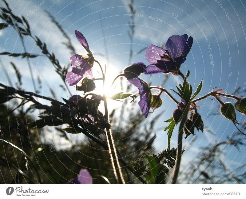 Wiesen-Storchschnabel II schön Himmel Sonne Blume blau Sommer Wiese Blüte Gras Wärme violett Physik Abenddämmerung Wiesenblume Storchschnabel Wiesen-Storchschnabel