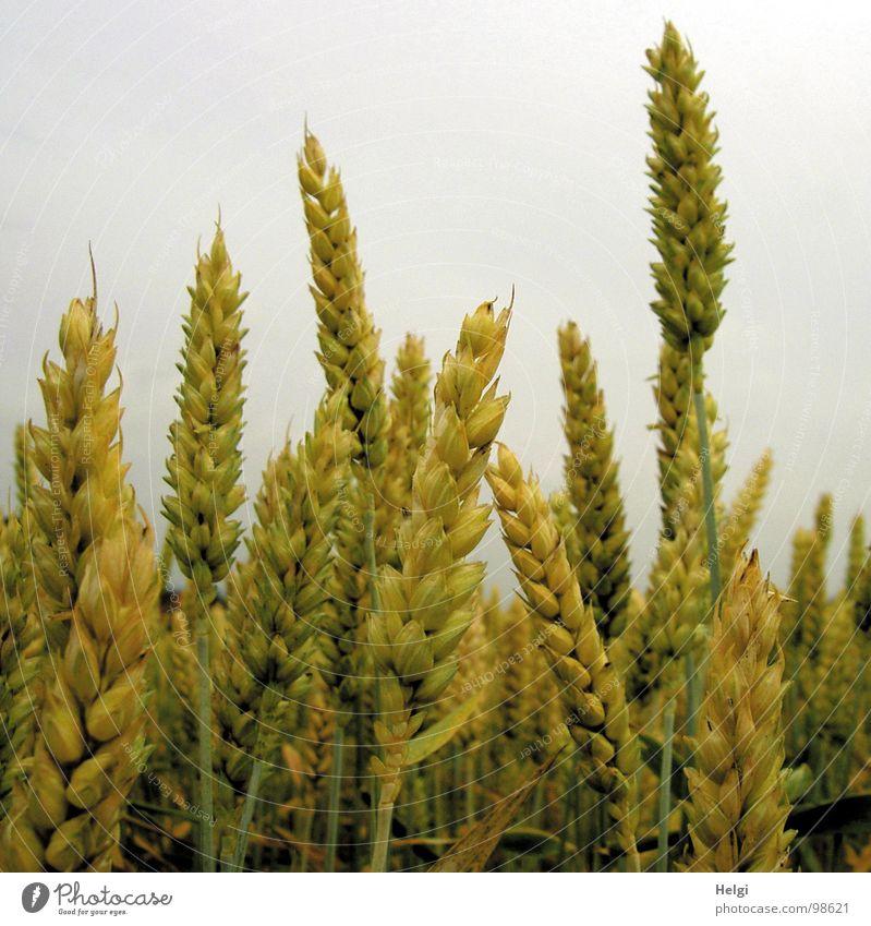 Weizen Himmel grün Sommer Wolken gelb klein Zusammensein Feld hoch mehrere Wachstum viele Vergänglichkeit Landwirtschaft Getreide Stengel