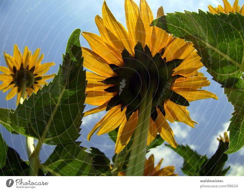 Der Sonne entgegen I Blume Blüte Garten Himmel Gegenlicht Sommer aufwärts gelb blau grün Photosythese