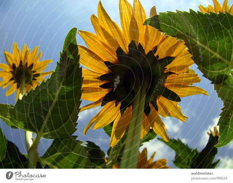 Der Sonne entgegen I Himmel Blume grün blau Sommer gelb Blüte Garten aufwärts