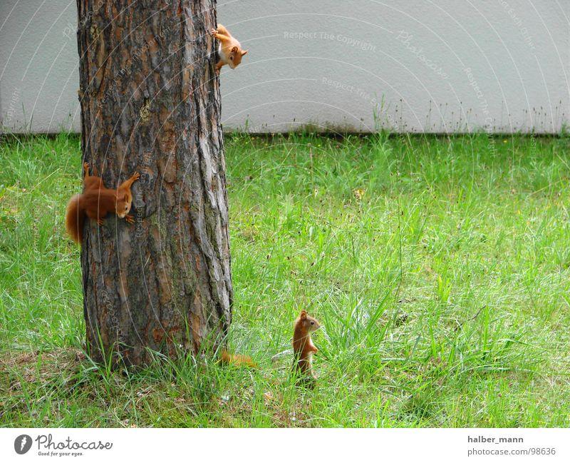 Where is mom...? Baum grün Einsamkeit Tier Angst Suche 3 süß Rasen Kindheit Konzentration Panik Nervosität Eichhörnchen rotbraun
