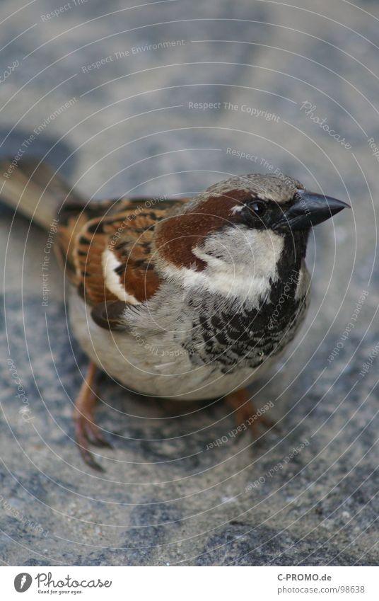 Haste mal`n Krümel klein Vogel braun Feder niedlich Neugier Tiergesicht Schnabel Spatz Haussperling zutraulich