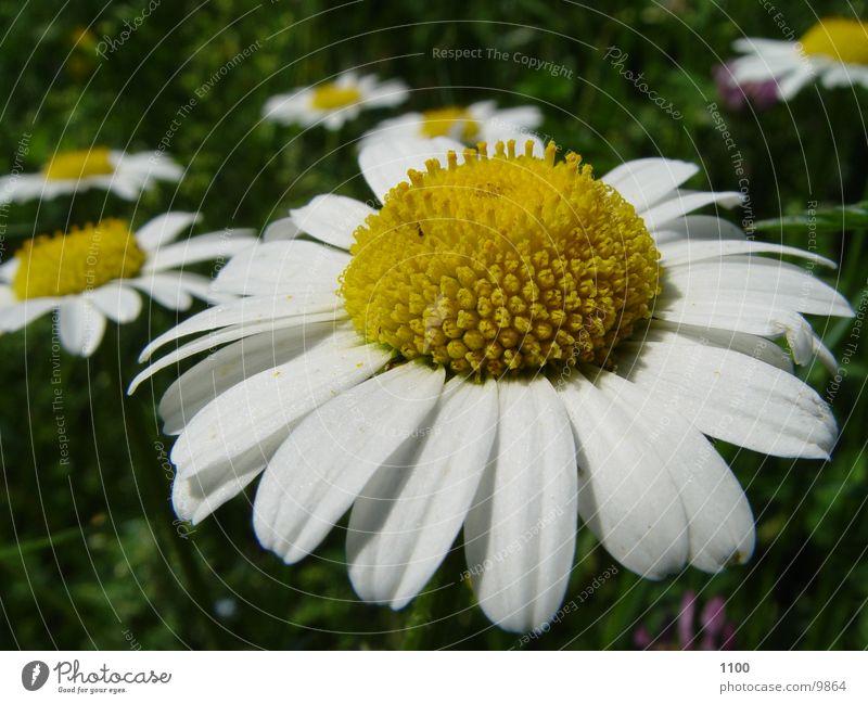 Blume Pflanze Sommer Wiese