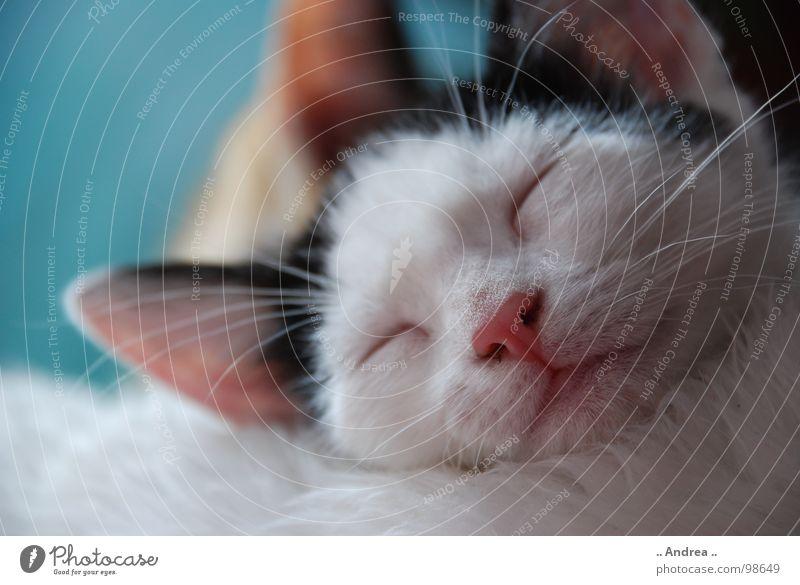 Die kleine Emma Zufriedenheit Erholung Ohr Nase Mund Fell Katze schlafen Schnurrhaar ruhen Säugetier cat kitten Farbfoto