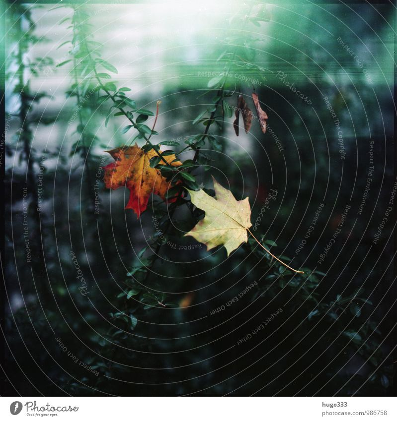 Herbstliches Umwelt Natur Pflanze Sträucher Blatt Park Blühend verblüht dehydrieren Wachstum rot grün Lichteinfall analog Filmmaterial Farbfoto Außenaufnahme