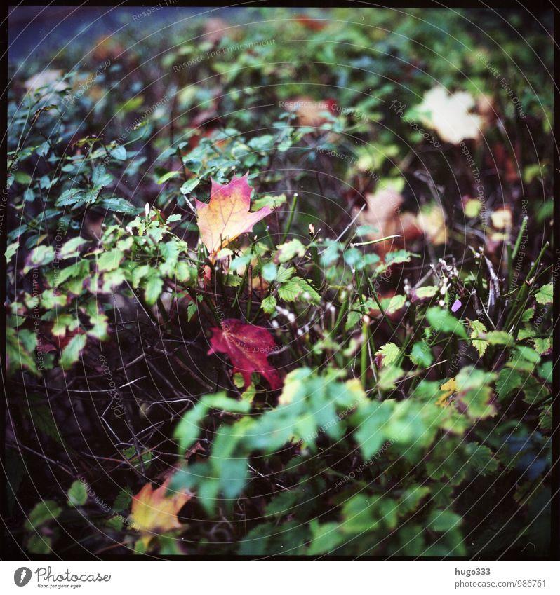 Herbstliches Umwelt Natur Pflanze Sträucher Blatt Grünpflanze Garten Park verblüht dehydrieren alt retro trist trocken gelb grün rot Trauer herbstlich