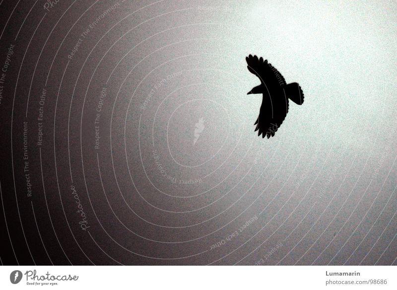 Krähe Himmel weiß Sonne Tier schwarz dunkel Tod grau Traurigkeit Vogel fliegen gefährlich Luftverkehr Elektrizität Feder Flügel