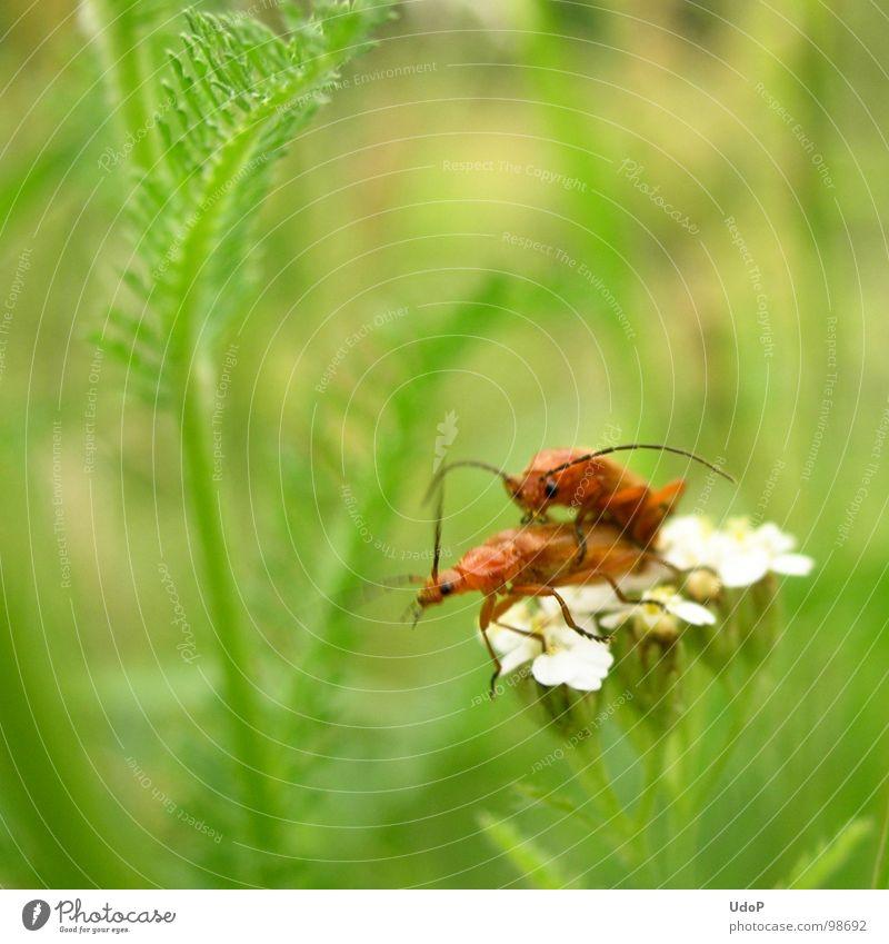 Das Liebesleben der Rotgelben Weichkäfer (Halt doch still) Natur grün weiß rot Sommer Wiese Bewegung Blüte orange 2 Tiefenschärfe Käfer
