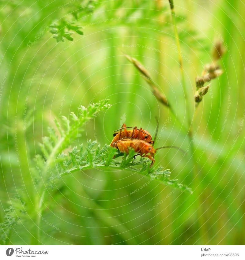 Das Liebesleben der Rotgelben Weichkäfer geht weiter Natur grün weiß rot Sommer Wiese Bewegung Blüte orange 2 Tiefenschärfe Käfer