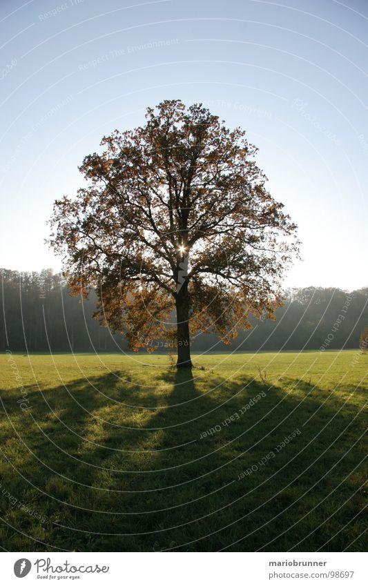 schön einsam Baum Wiese Laubbaum Einsamkeit Licht Baumkrone Eiche Herbst Schatten Sonne Blauer Himmel Einzelgänger