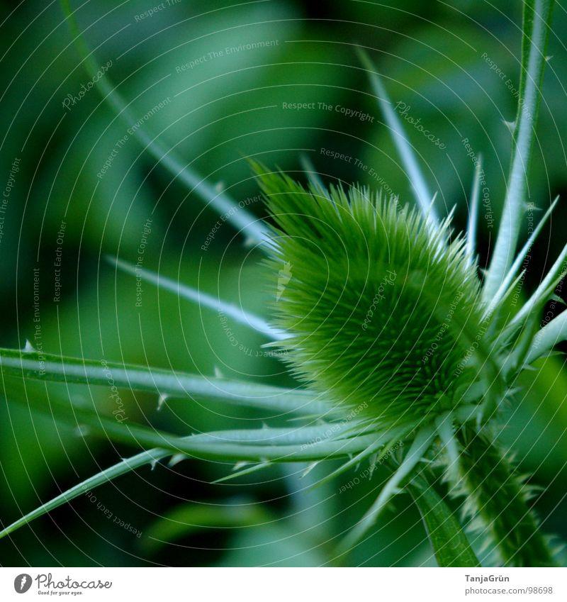 Thistle grün Pflanze stechen Wachstum Dorn Distel Wegrand schön Feld Makroaufnahme Nahaufnahme Stachel Spitzig Spitze Edelunkraut Pieksen Schmerz Natur