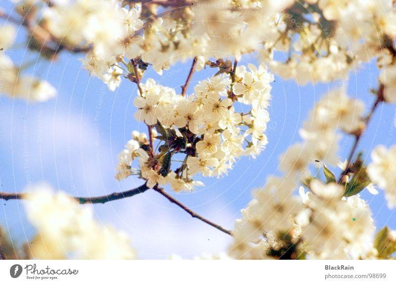 Unser alter Kirschbaum Baum Freude Blüte Schönes Wetter Kirsche Blauer Himmel