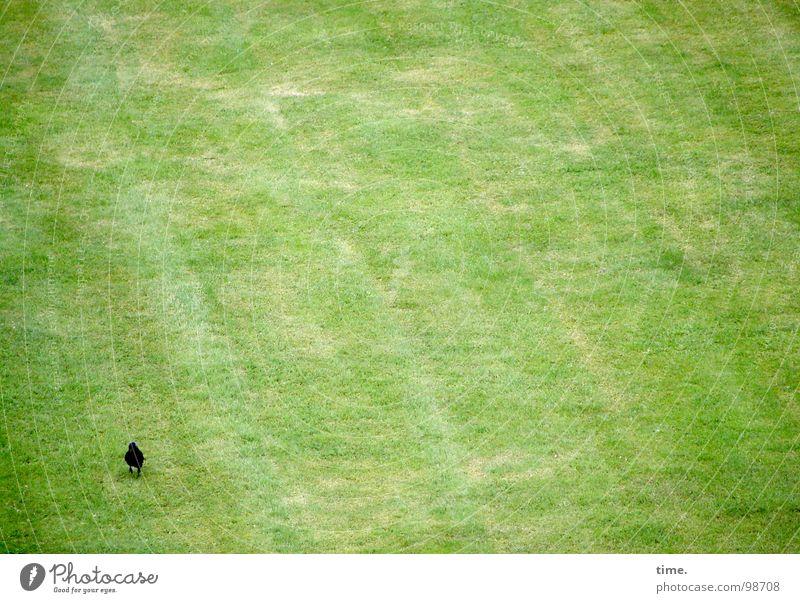 Business as usual Blick Wiese Vogel Fressen grün Langeweile Einsamkeit Dohle Halm Vorhut Suche Rasen wo sind die anderen Spaziergang Wurmfresser Einsatz