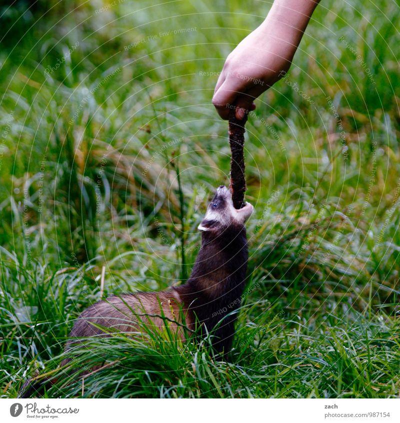 Mundraub Pflanze grün Hand Tier Wiese Gras Spielen Essen Feld Wildtier Arme niedlich Fell Fressen Fleisch füttern