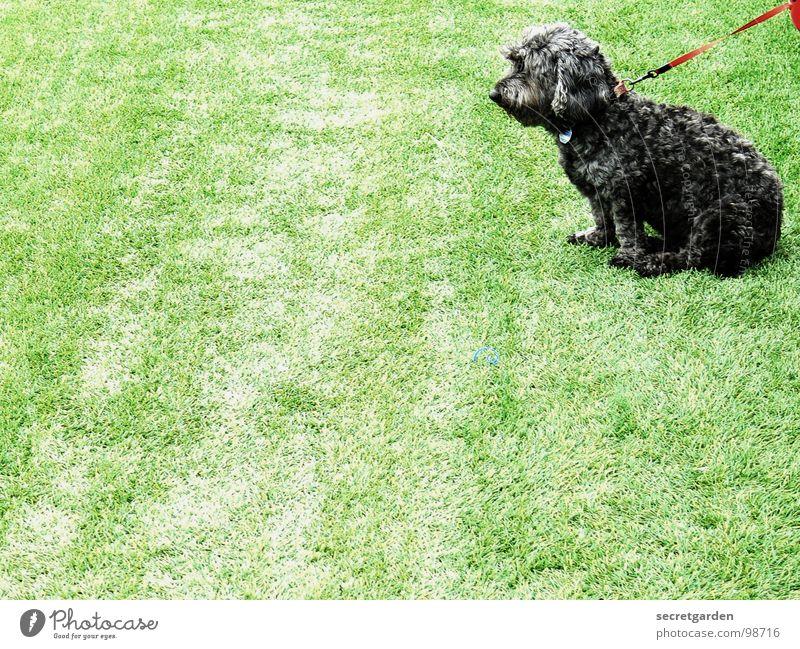 spannendes spiel Hund grün rot Tier ruhig schwarz hell sitzen warten trist Rasen festhalten Konzentration Spielfeld Langeweile Pfote