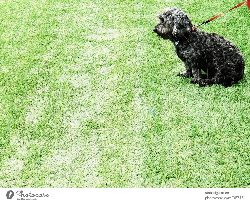 spannendes spiel Spielfeld Kunstrasen Hund Tier grün Sportplatz Pudel trist rot schwarz Hundemarke Silhouette Mischling Pfote Hängeohr Langeweile Frustration