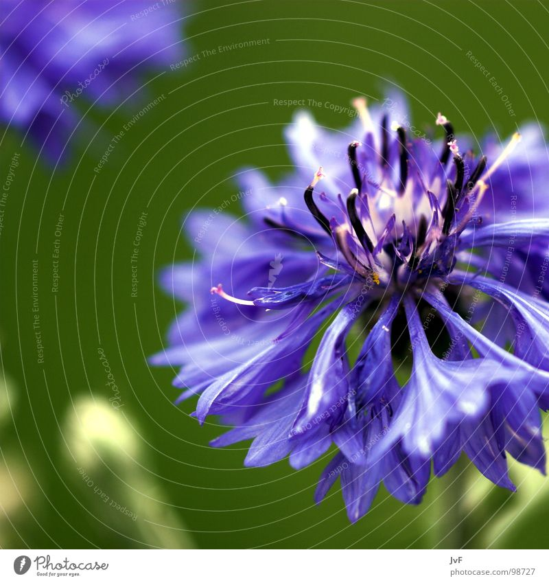 [lila] Blume grün Leben Frühling Glück Wachstum violett Blühend Gruß aufwachen Kornblume Knall