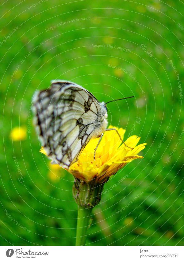 Tagfalter Schmetterling Löwenzahn Wiese Blumenwiese Sommer Gras Blüme Flügel jarts