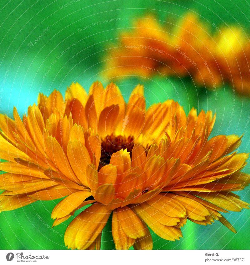 beautiful colours knallig Botanik Pflanze Lanze mehrfarbig Blüte grün giftgrün orange dunkelgelb grell verrückt Gartenpflanzen Ringelblume Tagetes