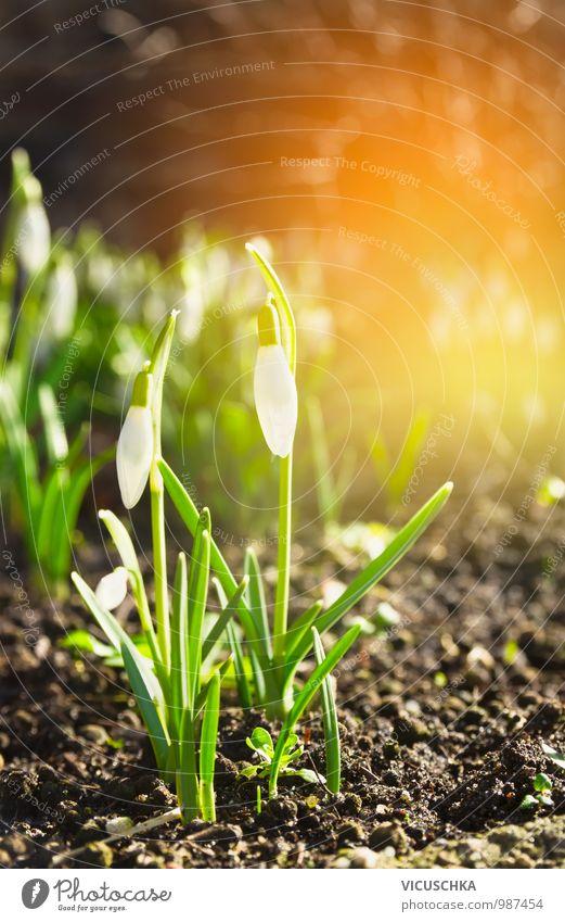 erste wilde Schneeglöckchen im Frühling Garten Design Umwelt Natur Pflanze Sonne Sonnenaufgang Sonnenuntergang Sonnenlicht Schönes Wetter Blume Park Wald