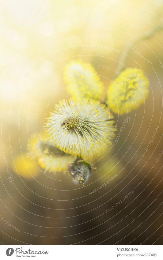 gelben Weidenkätzchen im Sonnenlicht Natur Pflanze Baum Wald Umwelt Frühling Blüte Hintergrundbild Garten Park Design Schönes Wetter Zweig Pollen Saison