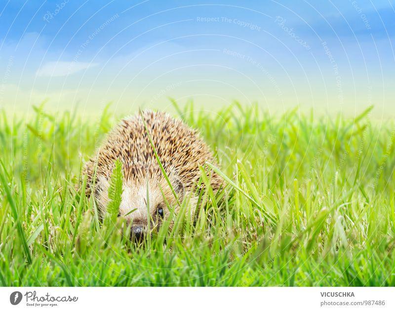 Junge Igel im Gras Design Garten Baby Natur Pflanze Tier Himmel Horizont Frühling Sommer Schönes Wetter Park Wiese Feld Wildtier 1 Rasen blau Tierporträt