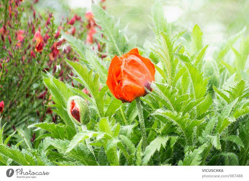 Blühende rote Mohnblume im Garten Natur Pflanze grün Sommer Blume Blatt Umwelt Wiese Frühling Hintergrundbild Stimmung Park Feld Design