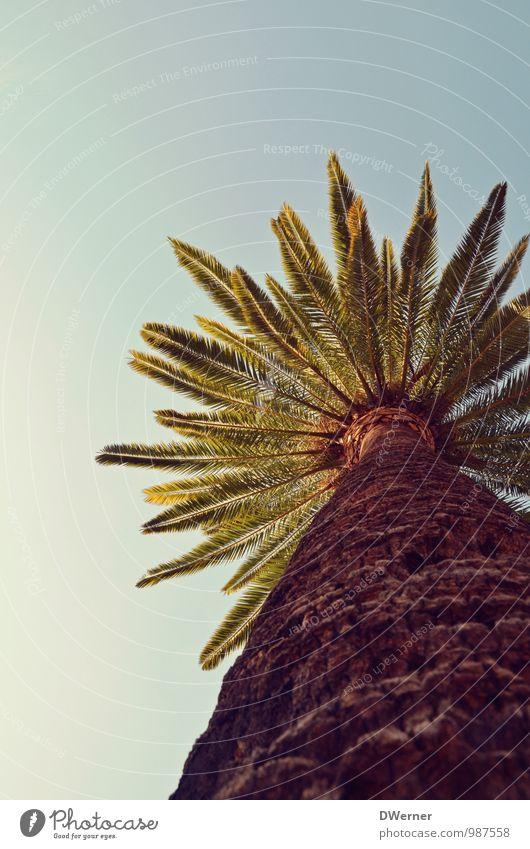 Palme exotisch Ferien & Urlaub & Reisen Ausflug Abenteuer Freiheit Sommer Umwelt Pflanze Himmel Schönes Wetter Baum Park entdecken stehen Wachstum dick groß