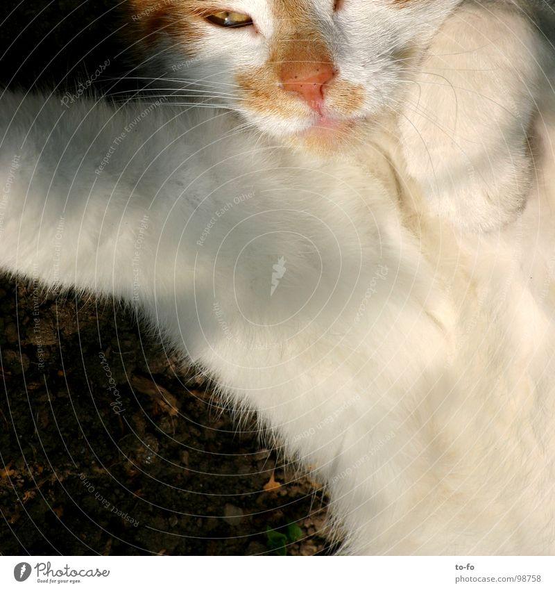 Kater Katze Fell Tier Pfote Oberlippenbart Trägheit Streicheln Säugetier Hauskatze bequem Blick